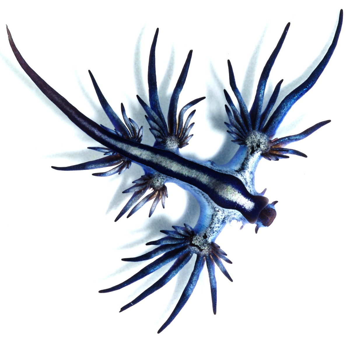 blue dragon mollusk