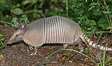 A nine-banded armadillo in the wild. Photo courtesy of Wikipedia commons.