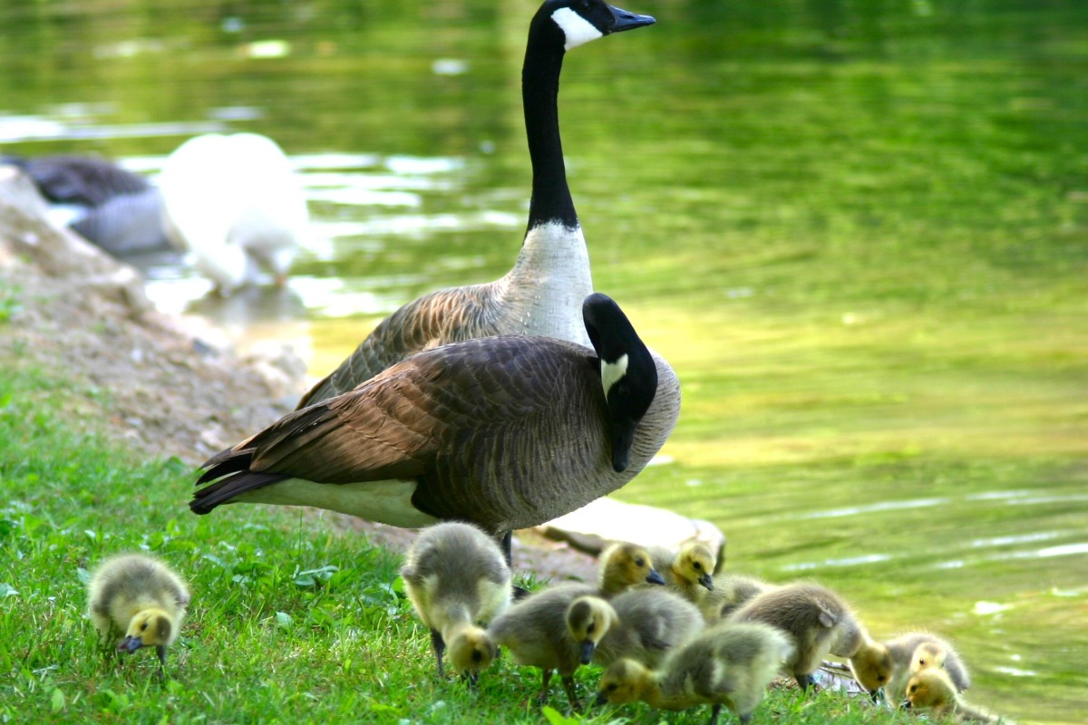 Goose with gooslings or ducklings or whatever they are called