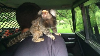 Monkey chase. Photo courtesy of the Burien Police Department.